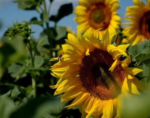 sunflowers 12