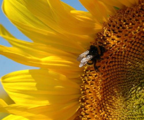 sunflowers 13
