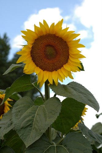 sunflowers 17