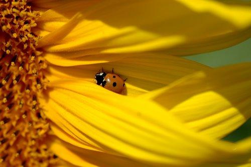 sunflowers 9
