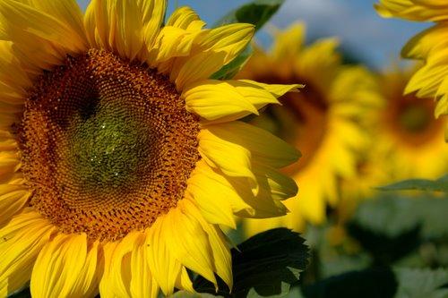 sunflowers 11