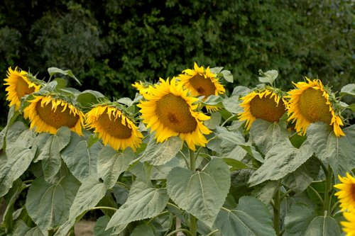 sunflowers 19