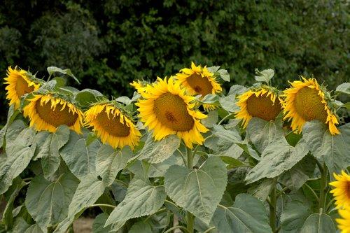 sunflowers 19