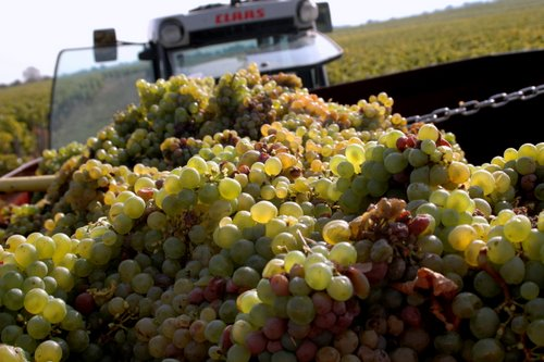 vendange-grapes